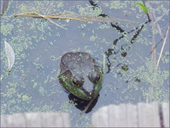 Pond with frog image