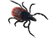Image of a Deer Tick